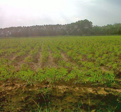 Investasi Pabrik Tapioka di Bangka Selatan : Kesejahteraan 5.000 Petani Meningkat